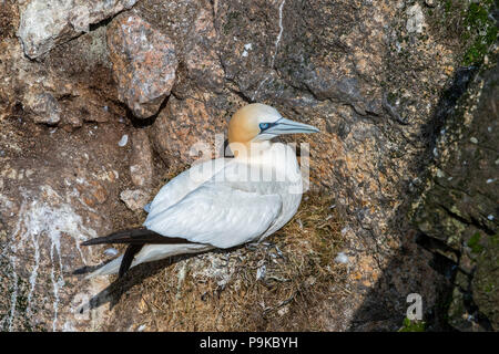 Northern gannet (Morus bassanus) at gannetry breeding on nest on rock ledge in sea cliff at seabird colony in spring, Scotland, UK - Stock Photo