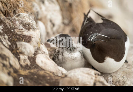 Razorbill and its chick sitting on a cliff in the Summer time - Stock Photo