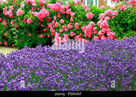 Blue, purple, lavender, pink Roses, front garden, wall, Lavandula, Rosa - Stock Photo