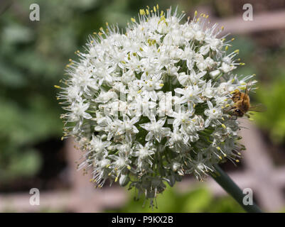 A bee on a green onion blosson in a raised bed garden collecting pollen, looking at you - Stock Photo