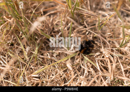 Poole, UK. 19th July 2018. The heatwave with very dry weather continues in the UK. Grass is turned brown and a bumble-bee is found dead. Credit: Thomas Faull/Alamy Live News - Stock Photo