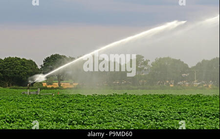 Water sprinkler in a Yorkshire Crop field of potatoes, Summer, England, UK - Stock Photo