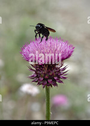 A black bumblebee extracts nectar from a thistle flower in Villa de Merlo, San Luis, Argentina. - Stock Photo
