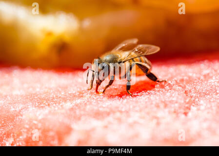 Bee Drinking From a Watermelon - Stock Photo
