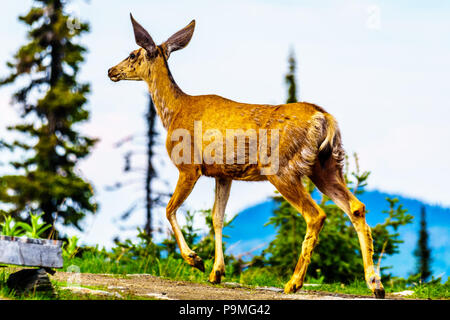 Black Tailed Deer in the high Alpine of Tod Mountain in the Shuswap Highlands of British Columbia, Canada - Stock Photo