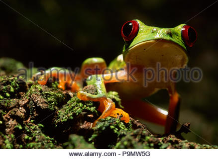 Portrait of a red-eyed tree frog. - Stock Photo