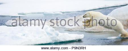 Polar bear, Ursus maritimus, leaping on pack ice at water's edge. - Stock Photo