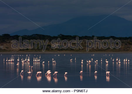 Lesser flamingos, Phoenicopterus minor, eating in a large lake. - Stock Photo