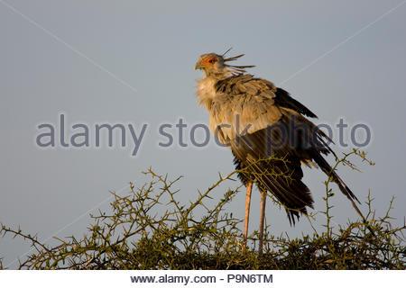 Secretary bird, Sagittarius serpentarius, standing in a thorny bush. - Stock Photo