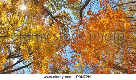 A tree canopy in the fall in Sligo Creek Park. - Stock Photo
