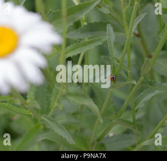 A ladybug on a daisy stem looking at you. - Stock Photo