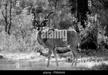 A GREATER KUDU BULL (Tragelaphus Strepsiceros) backlit by the afternoon sun - OKAVANGO DELTA, BOTSWANA - Stock Photo