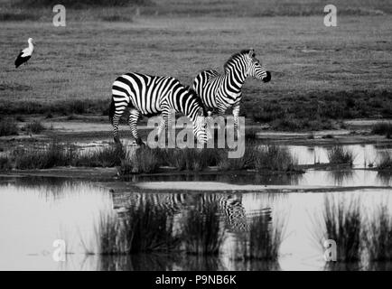 Two BURCHELL'S ZEBRAS (equus Burchelli) is reflected in a pool of rain water - SERENGETI NATIONAL PARK - Stock Photo