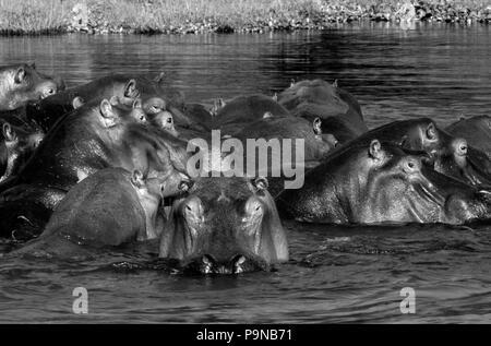 A large pod of HIPPOPOTAMUS (Hippopotamus Amphibius) in the ZAMBEZI RIVER - ZAMBIA - Stock Photo