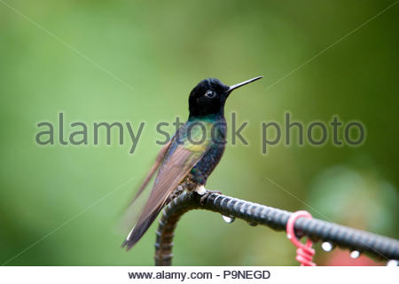 A velvet-purple coronet hummingbird, Boissonneaua jardini. - Stock Photo