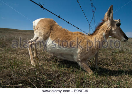 A pronghorn antelope sneaks under a barbed wire fence. - Stock Photo