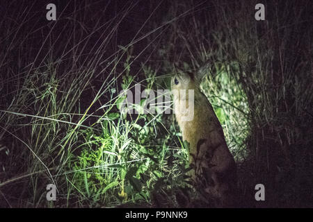 An African springhare is spotted at nighttime amongst the brush in Hwange National Park. Hwange, Zimbabwe - Stock Photo