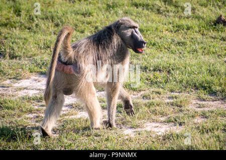 A Chacma baboon walks through the grasslands of the savanna in Hwange National Park. Hwange, Zimbabwe - Stock Photo