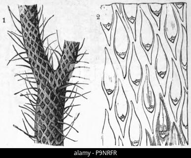 . English: Illustration of a fossil plant found in coal: Lepidodendron. published 1879 121 AmCyc Coal Plants - Lepidodendron - Stock Photo