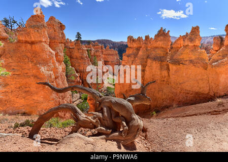 Old weathered juniper tree snag along the trail, in the hoodoo canyon, Bryce Canyon National Park, Utah - Stock Photo