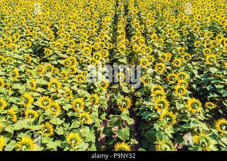 Beautiful sunflower field, aerial view - Stock Photo