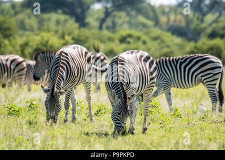 Groups of zebras graze on the grasslands of the savanna in Hwange National Park. Hwange, Zimbabwe. - Stock Photo