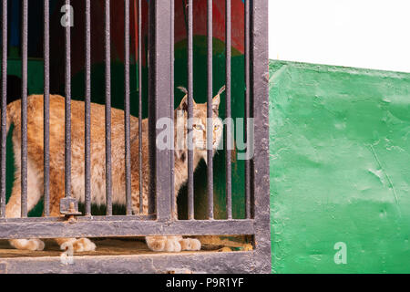 Portrait of a wild lynx in the profile of the lattice fence - Stock Photo