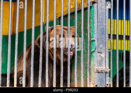 Bear in captivity in a zoo behind bars. Power and aggression in the cage - Stock Photo