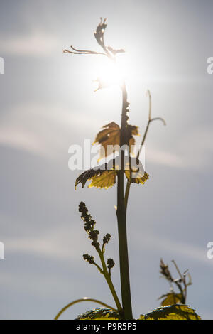 Young branch with sunlights in Bordeaux vineyards - Stock Photo