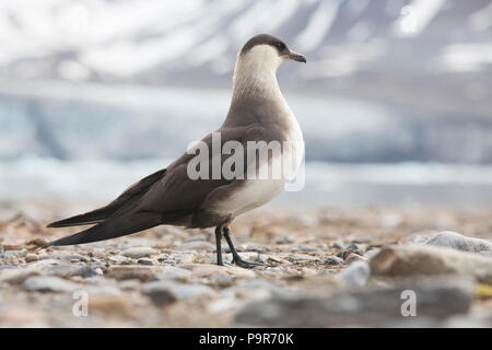 Parasitic jaeger / Arctic Skua (Stercorarius parasiticus) in Svalbard - Stock Photo