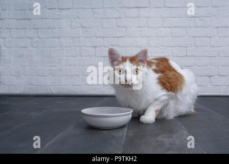 ute tabby cat waiting for food. to be put in the bowl. - Stock Photo