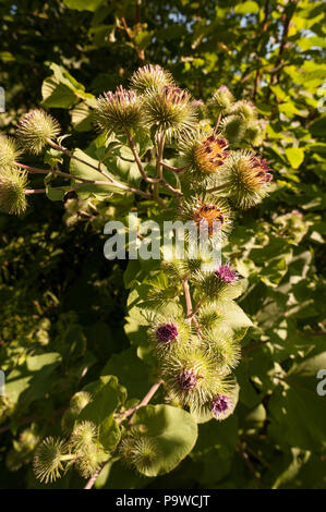 Purple flowers of large mature burdock flower like a thistle flowers with barbs and hooks idea behind velcro, crochet bur, used for light mead - Stock Photo