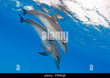Atlantic spotted dolphins (Stenella frontalis), juvenile, Bahama Banks, Bahamas - Stock Photo