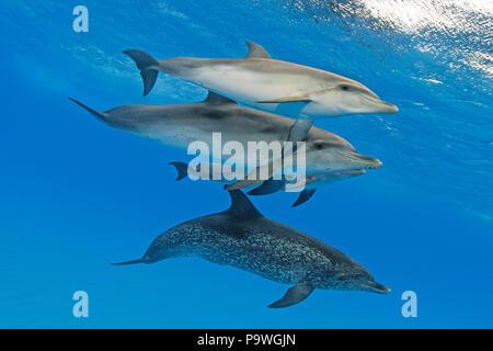 Atlantic spotted dolphins (Stenella frontalis), Dolphin School, Bahama Banks, Bahamas - Stock Photo