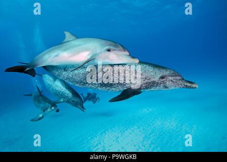 Atlantic spotted dolphins (Stenella frontalis), animal group, Bahama Banks, Bahamas - Stock Photo