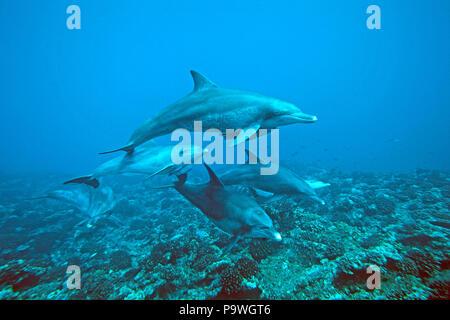 Indo-Pacific bottlenose dolphins (Tursiops aduncus), Dolphin School, Ogasawara, Japan - Stock Photo
