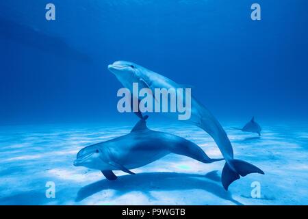 Bottlenose dolphins (Tursiops truncatus), Dolphin School, South Carolina, USA - Stock Photo
