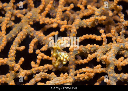 Pygmy seahorse (Hippocampus bargibanti) on sea fan coral (Muricella paraplectana), Lembeh strait, Sulawesi, Indonesia - Stock Photo