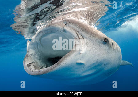 Whale shark (Rhincodon typus) feeding, largest fish in the world, Isla Mujeres, Mexico - Stock Photo