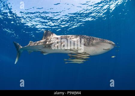 Whale shark (Rhincodon typus), with Slender sharksuckers (Echeneis naucrates), Cenderawasih Bay, Irian Jaya, West Papua - Stock Photo