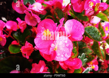 Red shimmery wax begonias shining in the garden - Stock Photo