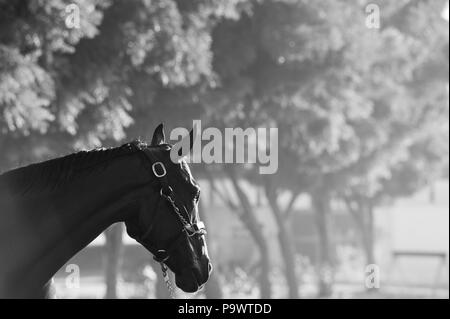 Freshly bathed racehorse at dawn after training. - Stock Photo