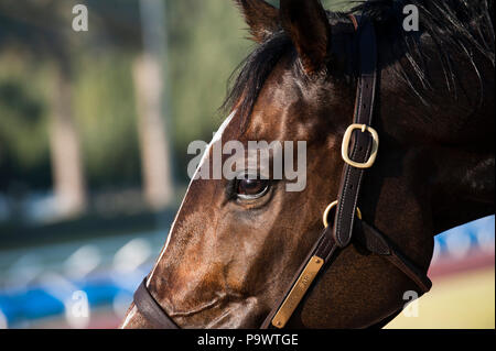Outdoor profile shot of an alert dark brown racehorse staring in the morning light after dawn training in Dubai. - Stock Photo