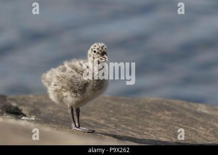 Common Gull, Larus canus, juvenile calling - Stock Photo