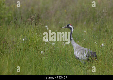 Common Crane, Grus grus in damp meadow - Stock Photo