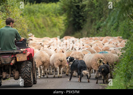 A shepherd on a quad-bike with two Border Collie sheepdogs herds sheep  in an Exmoor country lane, Luccombe - Stock Photo
