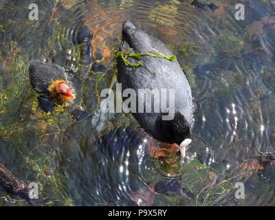 Eurasian coots (Fulica atra) in West Boating Lake, Victoria Park, London, UK. - Stock Photo