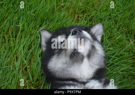 Baby alusky puppy practicing his howl on his back. - Stock Photo