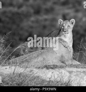 Löwin mit Jungtier im Graß der afrikanischen Savanne - Stock Photo