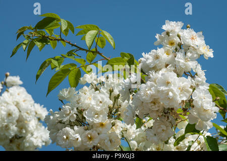 Blossoms of a white rambler rose on a sunny day in spring, blue sky in the background - Stock Photo